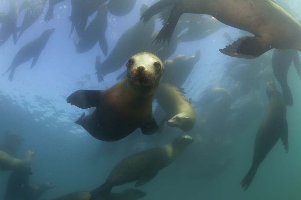A group of California Sea Lions near the kelp forests off the coast of Monterey, California. (Credit © Keith Ellenbogen)