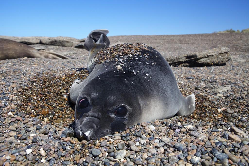 Elephant Seal pup along the coast of Patagonia, Argentina. (Credit © Keith Ellenbogen)