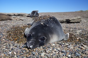 Elephant Seal pup along the coast of Patagonia, Argentina. (Credit © Keith Ellenbogen)