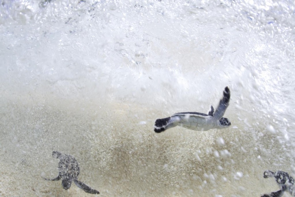 After hatching on the beach, a nest full of baby Endangered Green Sea Turtles immediately race into the sea. Green Sea Turtles are listed by IUCN and CITES as an endangered species. (Credit © Keith Ellenbogen)