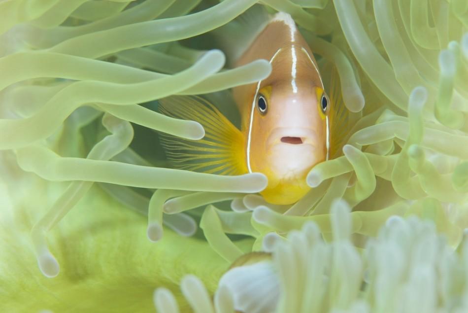 Pink Anemonemefish (Image: Keith Ellenbogen)