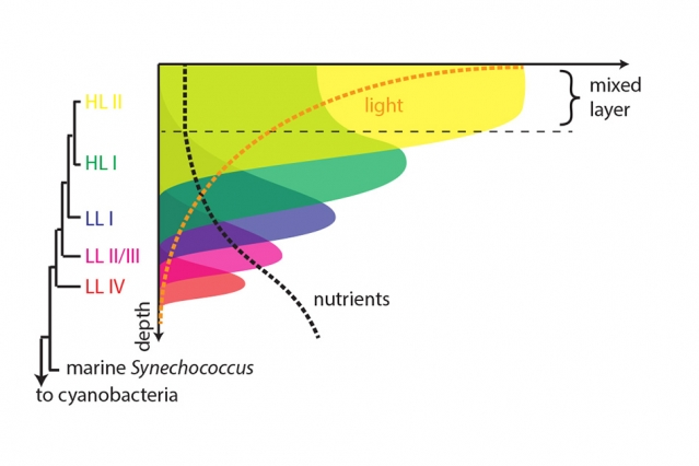 The new analysis shows that the layered structure of the marine bacterial ecosystem evolved over time, with newer versions displacing those near the surface and forcing them into deeper levels. (Image: Rogier Braakman, reproduced with permission from Proceedings of the National Academy of Sciences)